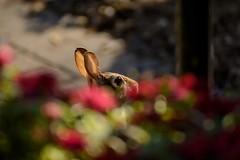 Bunny with Bokeh (brev99) Tags: d7100 tamron70300vc highqualityanimals nature bokeh blur rabbit tulsagardencenter nikoutputsharpener