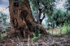........ nel bosco di Oz. (albert23it) Tags: sony sonyalpha7r sonyalpha7 sonyalpha summicron sonynex6 alpha alpha7r a7r a7 alpha7 autunno albero alberi uliveto ulivo ulivi summilux 50mm 50 50r ilce7r