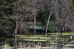 Swamp of the back upped Iowa River. (tjacobs61) Tags: river iowariver iowa trees algae