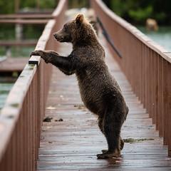 Bear on the bridge - standing 1x1 (swissgoldeneagle) Tags:  d750 brcke baer  tier stehend standing kamtschatka animal 1x1  kamchatka bear kurilensee  fareasternfederaldistrict  fderationskreisfernerosten bruecke kurilelake russia bridge br russland  regionkamtschatka ru