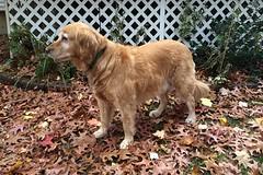 Prancer in the yard (hbickel) Tags: dog yard goldenretriever canon pad photoaday prancer canonxsi