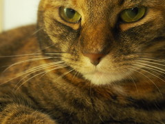Glamazon (Raccoon Photo) Tags: pet cats pets cute love animal animals cat fur paw furry feline kittens pixie domestic kitties paws cateyes catface companions catportrait love animals eyes cat pixie kamalani domestic ball cat cats glamcat fur adorable stardust adopted