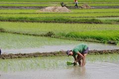 Rice Farm-20140801-IM3P0425 (IlocosNorte) Tags: travel tourism farm philippines farming farmer agriculture ricefields mid foodphotography ilocosnorte yummymagazine forsopa2014 mediaincentivesdesk
