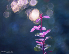Light Bubbles (michaluzzatto) Tags: life morning pink flowers wild naturaleza sunlight plant flower macro art nature floral colors beautiful leaves closeup garden outdoors japanese 50mm israel focus energy colorful pretty dof bokeh earth magic creative dream fresh bubble organic makro