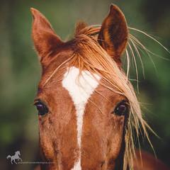*** (purple horse designs) Tags: horse nature animal canon maryland naturallight chestnut arabian equestrian equine equus 70200mm 70d