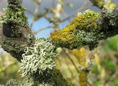 Lush Lichens (Explored) (JulieK (should be doing housework)) Tags: macro tree green cup bokeh fungi bark lichen lush crabapple crustose foliose greenoffice explored ilobsterit weeklyalphabetgroup