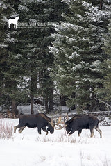 mosserpsnow012 (Deby Dixon) Tags: winter snow nature wildlife moose bulls yellowstone sparring