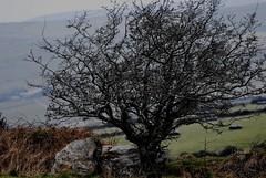 Hawthorn Tree near Monaseed (Explored) (murtphillips) Tags: