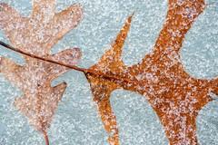 Heavy Frost (MichellePhotos2) Tags: winter macro leaves leaf oak nikon frost michigan 150mm d800e nikond800e