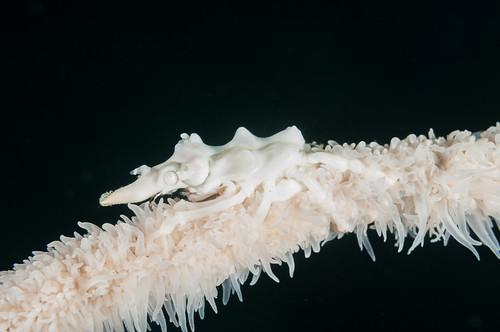 Xeno crab (Pantar Island, Alor)