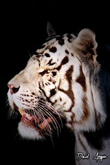 Zoo Aquarium de Madrid (d_aragon) Tags: madrid espaa tourism zoo spain tiger zoolgico animales turismo tigre