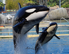 Shamu Wikie & Keijo (orcamel30) Tags: show white water animal animals mammal jump nikon marine marin wave whale whales orca maman animaux shamu killerwhale bb antibes marineland saut apn appareil spectacle keijo orka orque aquatique apprentissage 55300 wikie d5200