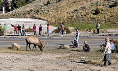 Despite all the signs... (Starkrusher) Tags: danger yellowstonenationalpark yellowstone elk