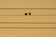 Silhouette (Topu Saha) Tags: sky nature silhouette fly cable crow