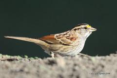 White-throated Sparrow (pandatub) Tags: bird birds sparrow coyotehills ebparks ebparksok