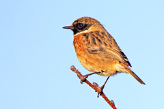 Male Stonechat (HollyRuthven) Tags: uk birds southwales wales canon wildlife tamron stonechat newportwetlands