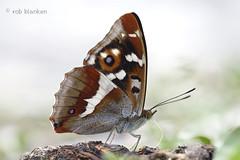 Purple Emperor (Apatura iris, grote weerschijnvlinder) (Rob Blanken) Tags: butterfly austria emperor grote apaturairis nikond800 sigma180mm128apomacrodghsm weerschijnvlinderpurple