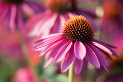 _MG_0422 (Mary Susan Smith) Tags: pink flowers garden echinacea ottawa superhero coneflower shallowdof gamewinner ornamentalgarden cy2 challengeyouwinner centralexperimentalfarm cychallengewinner thechallengefactory tcfwinner herowinner storybookwinner pregamewinner
