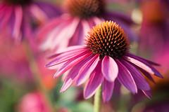_MG_0422 (Mary Susan Smith) Tags: pink flowers garden echinacea ottawa superhero coneflower shallowdof gamewinner ornamentalgarden cy2 challengeyouwinner centralexperimentalfarm cychallengewinner thechallengefactory tcfwinner herowinner storybookwinner pregamewinner