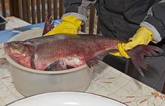 Now that's a fish! ( Bream -Abramis brama) (del's1) Tags: fishing nikon estonia bream d700 abramisbrama lakepiepsi
