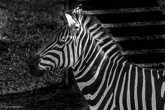 """A Zebra in Black & White • <a style=""""font-size:0.8em;"""" href=""""http://www.flickr.com/photos/92159645@N05/16048895679/"""" target=""""_blank"""">View on Flickr</a>"""