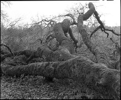 Fallen Oak (Summicron20/20) Tags: camera field inch c os rodinal ulf ilford fp4 fujinon v10 125 450mm deardorff 10x12 f125