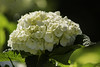 Merry christmas to all my Flickr friends. (Ernesto Uribe) Tags: flowers flores hydrangea hortensia macrophylla dsc6923