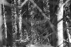 woodland apparition (shoots canons) Tags: light shadow wild blackandwhite bw pine forest woodland mammal nationalpark woods wildlife branches watching deer hidden pines camouflage yellowstonenationalpark yellowstone hiding muledeer ghostly ungulate tangle labyrinth publiclands alert tangled zoology wooded lodgepolepine vigilant camouflaged watchful lodgepole cervidae labyrinthine forested tangly criptic mammalogy cervid