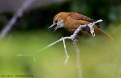 Great Xenops - Bico-virado-da-caatinga - Megaxenops parnaguae