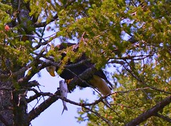 Mary Strauss, bald eagle with dinner near Lakeside