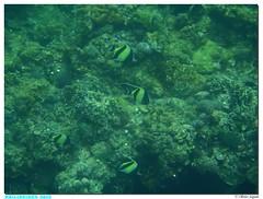 Philippines - Mabini - San Luis (olivierzeworld) Tags: voyage mer san philippines snorkeling luis batangas tuba poisson janvier palme masque maure 2015 idole expatriation