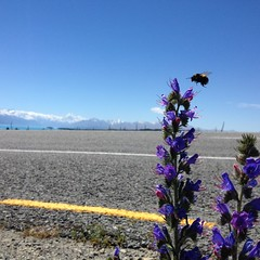 Mt Cook,  and a bee buzzing a Vipers Bugloss.