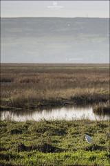 Little Egret at Parkgate (Simon Purcell Photography) Tags: estuary dee egret wirral littleegret parkgate