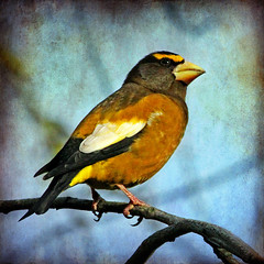 T (1crzqbn) Tags: nature square textures 7d hss eveninggrosbeak 1crzqbn