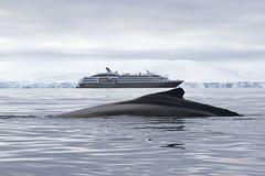 Humpback Whale and Le Boreal (Baractus) Tags: john islands antarctica le whale humpback oates boreal melchior inthewakeofshackleton
