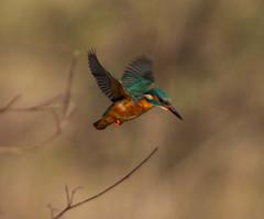 Kingfisher flight (Avium Gloria) Tags: bird flight kingfisher hover