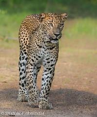 Sri Lankan leopard (Honey Badgerr) Tags: park morning white holiday nature forest cat asian photography amazing sand nikon asia heaven paradise tour wildlife 300mm safari sri lanka honey national leopard jungle srilanka monochrom nikkor sanctuary afs lankan panthera pardus shanaka f28g vrii aravinda d7100 kotiya wilpaththu badgerr