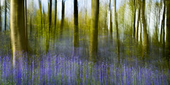 Bluebells (dannyhow2011) Tags: abstract nature bluebells woodland woods nikon wildlife yorkshire wildflowers icm westyorkshire huddersfield grimescar nikond810 nikkor1635