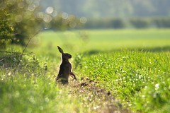 Hare Surveys the Field (Johnknowles85) Tags: uk morning brown nature field hare wildlife lincolnshire sillouette