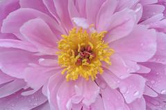yellow heart (Filsa Bint Ahmed) Tags: flower floral garden asian outdoor ngc center peony pollen afterrain yellowheart filltheframe pinkpetals lewisginterbotanicalgarden pinkpeony doublepetals pinkbloom