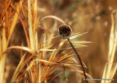 01 February 2016: Last summer (RobinMSP) Tags: winter nature meadow maryland easternshore grasses blackeyedsusan dailywalk maidinsunphotography wabisabiranch january2016c