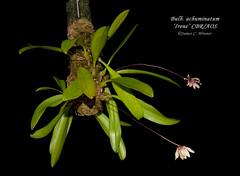 Bulbophyllum acuminatum 'Irene' CBR/AOS (Orchidelique) Tags: plant orchid nature bulb br award irene aos bulbophyllum acuminatum ncos ncjc 20151149 botanicalrecognition