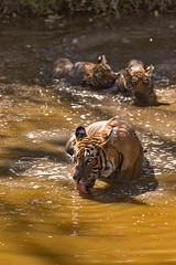 ADS_0000103547 (dickysingh) Tags: wildlife tiger tigers ranthambore indianwildlife ranthambhorenationalpark