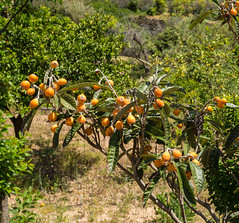 Fruit Tree (Peter J Dean) Tags: holiday tree fruit spain mediterranean es mallorca balearicislands illesbalears dei serradetramuntana canonef1635mmf28liiusm canoneos5dmarkiii may2016