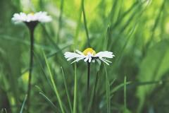 little talks (***toile filante***) Tags: light sun sunlight flower green licht spring daisy grn blume emotions sonne frhling gnseblmchen gefhl sonnenlicht
