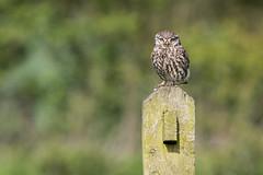 Steve the Little Owl (ToriAndrewsPhotography) Tags: project photography andrews little hide owl tori essex