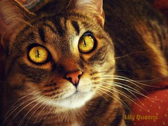 Happy week to all! ( Lily Queens ) Tags: cat golden eyes chat