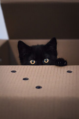 What's in the box? (BobbyKSmooth) Tags: cat pepper eyes kitten box whats se7en paws hiding sneaky