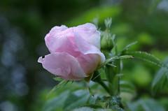 Monthou-sur-Cher (Loir-et-Cher) (sybarite48) Tags: france flower fleur rose flor rosa  gl blume fiore  bloem iek loiretcher   kwiat   ra     monthousurcher