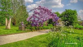 Wisteria, Botanic Gardens, Utrecht, Netherlands - 4292